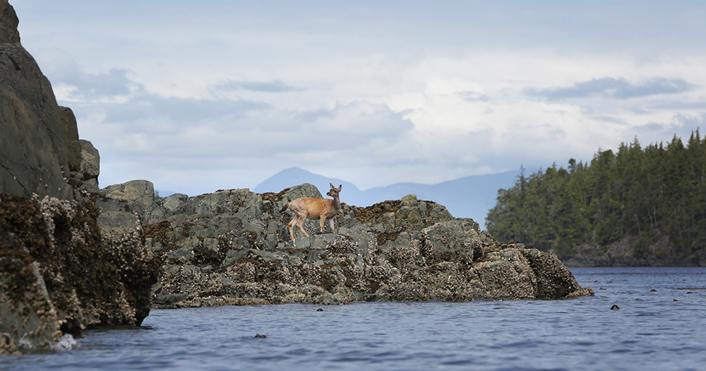 sitka deer on the coast of vancouver